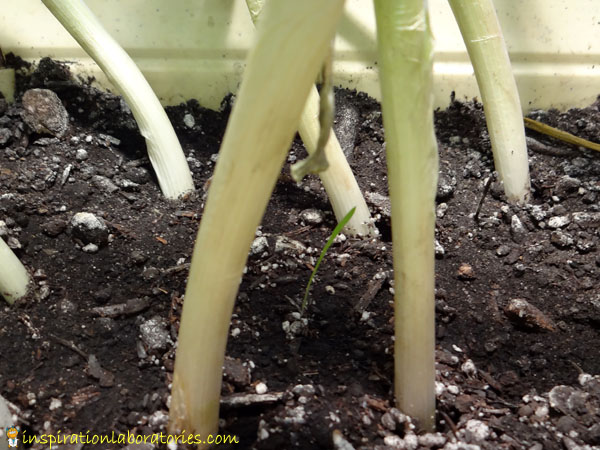 green onions in dirt