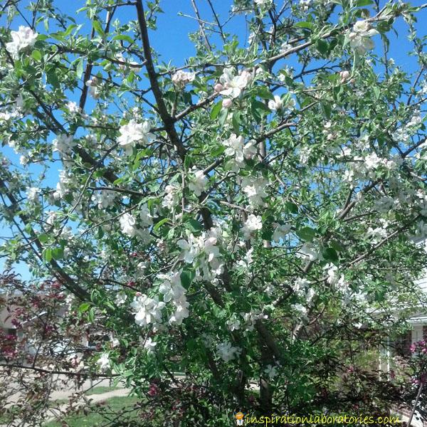 Spring Apple Tree