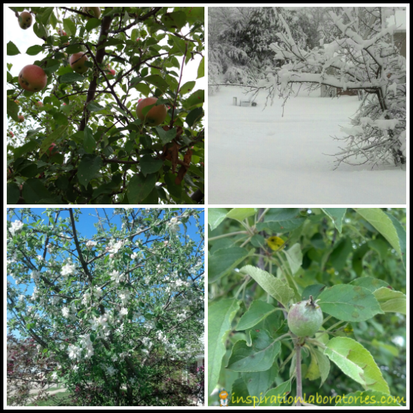 Apple Tree Seasons