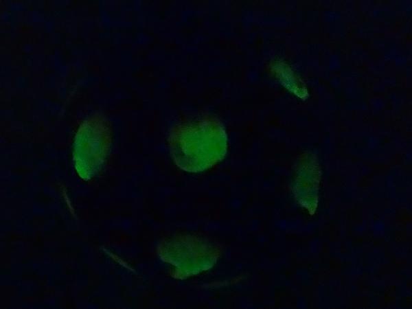 Glow in the dark polka dot painted pumpkins inspiration for Glow in the dark paint for real pumpkins