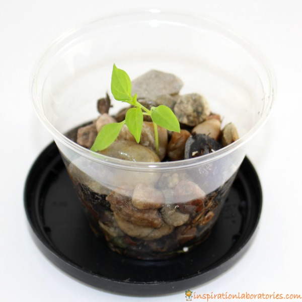 How will a plant grow in rocks?