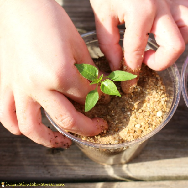 How will a plant grow in sand?