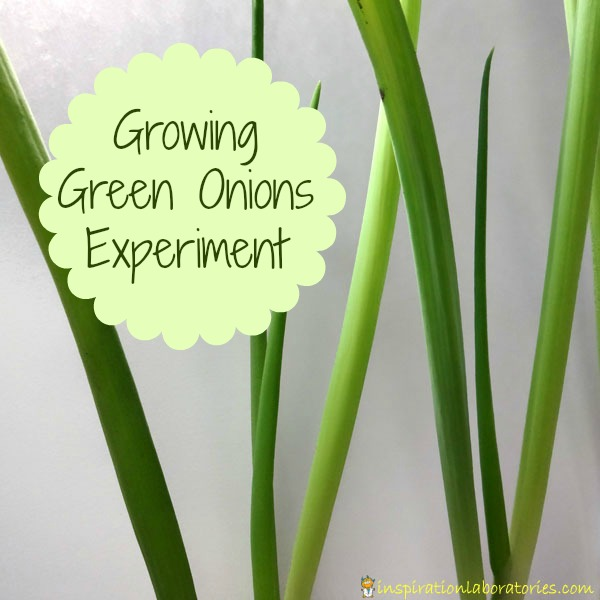Science at Home: Growing Green Onions Experiment